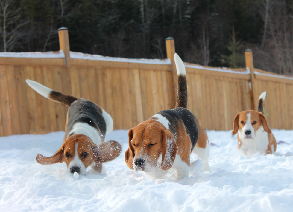 Three Beagles tracking in snow