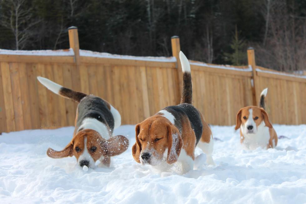 Scenting Beagles in snow