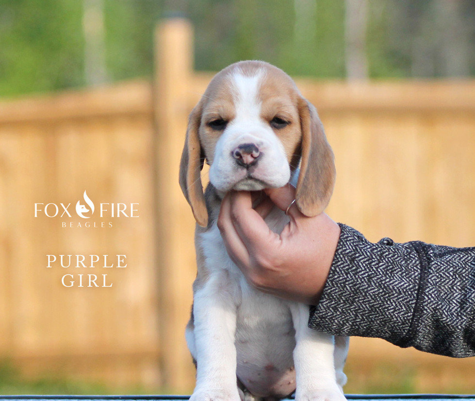 7 week old Female Beagle Puppy