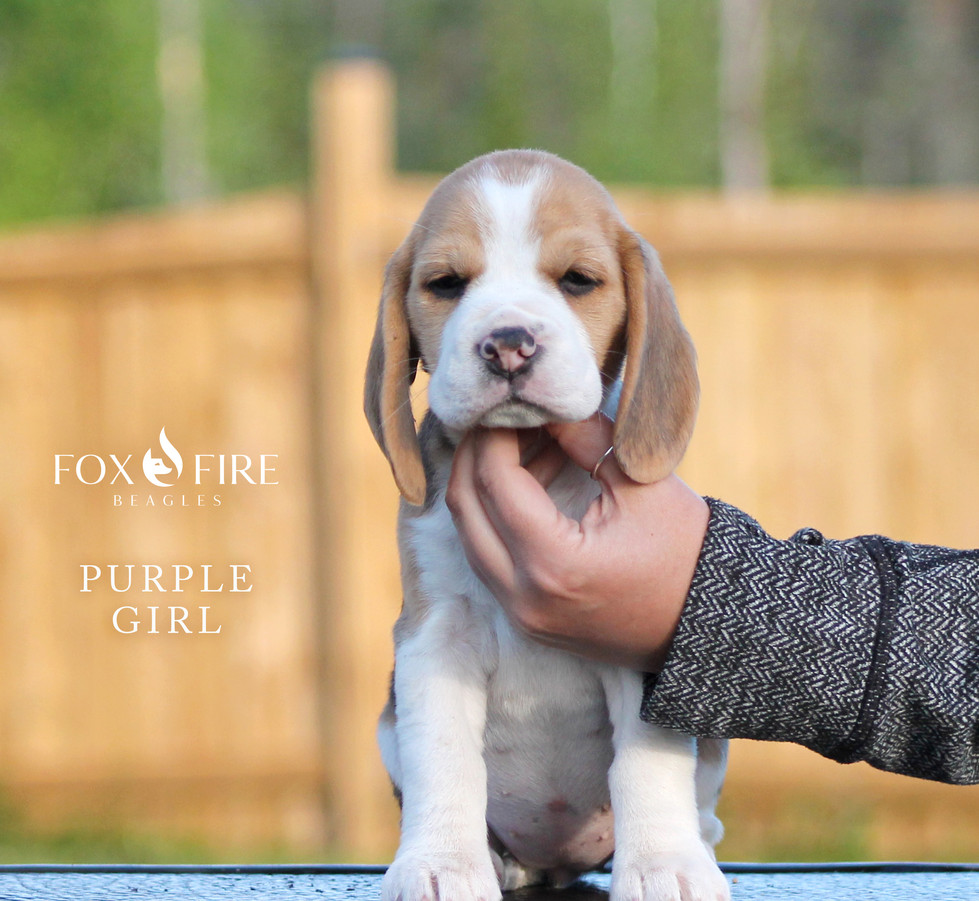 7 week old Female Beagle Puppy