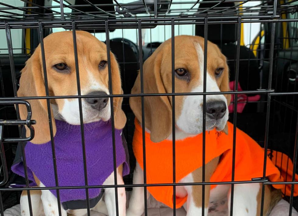 Beagles in Chillydog Apparel
