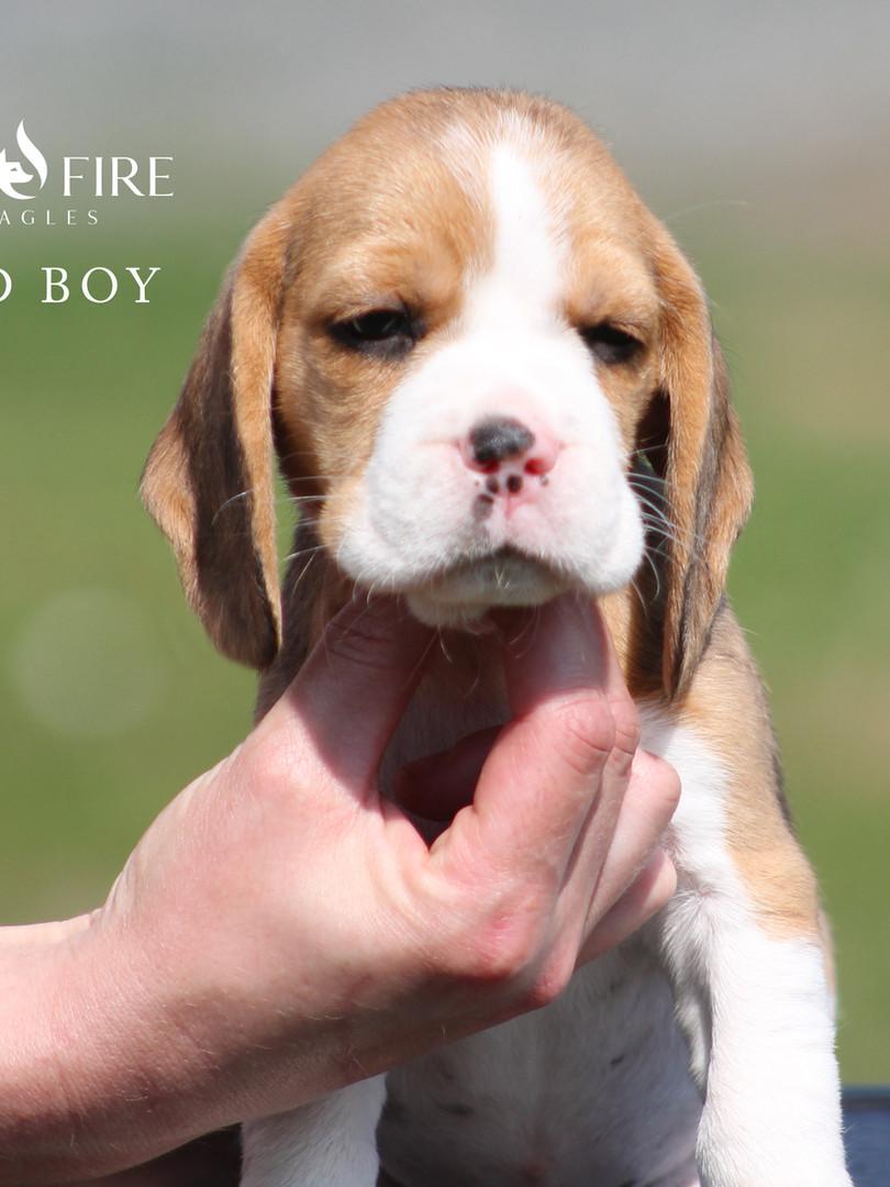 6 Week Old Red Boy
