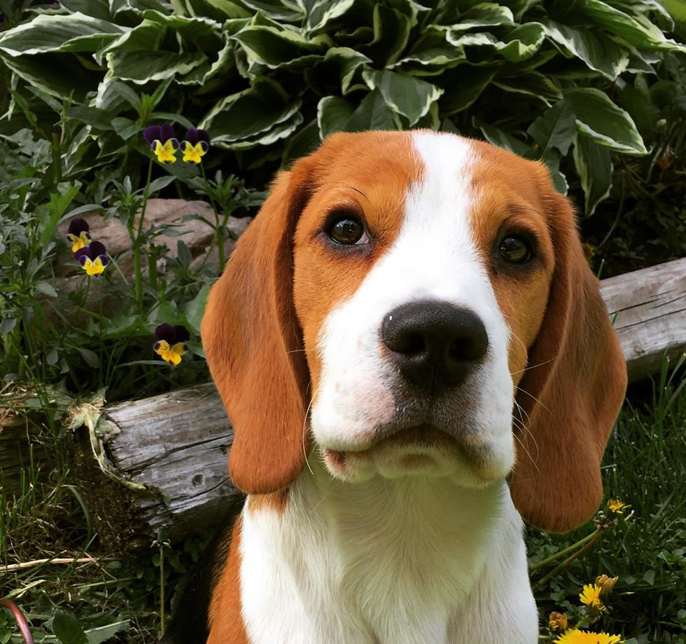 Young goofy beagle pup