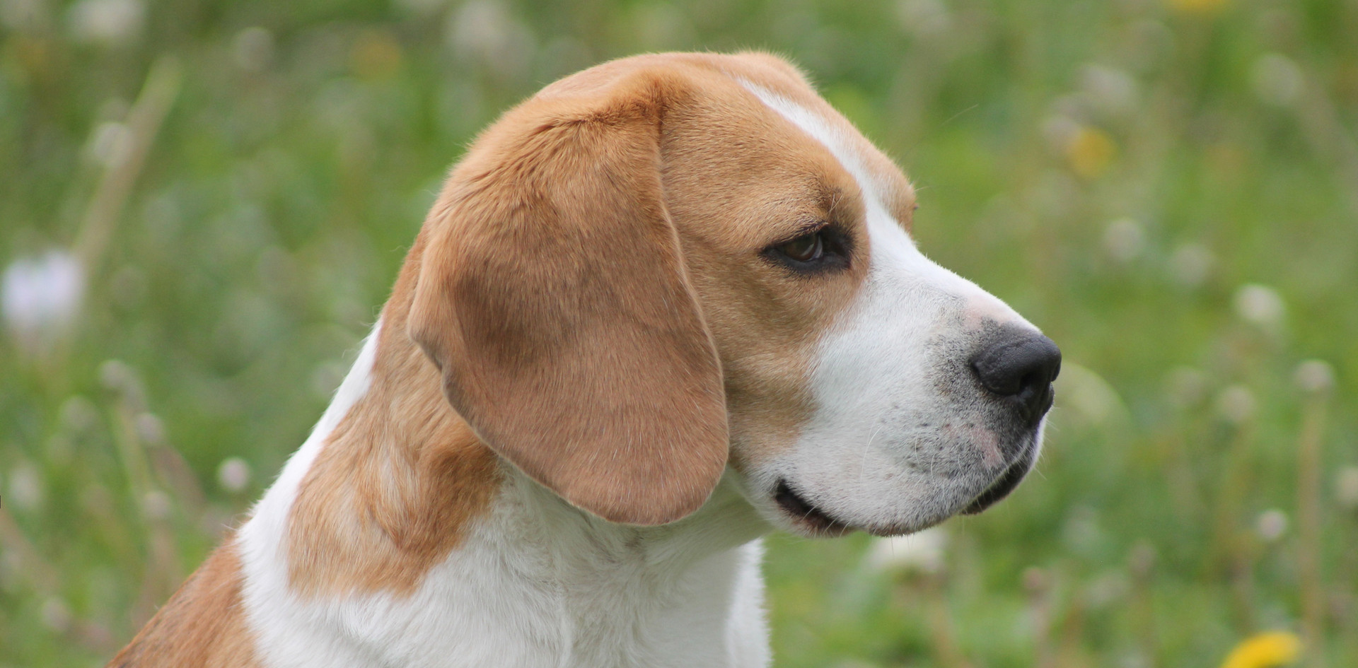 Adult Male Beagle Fox