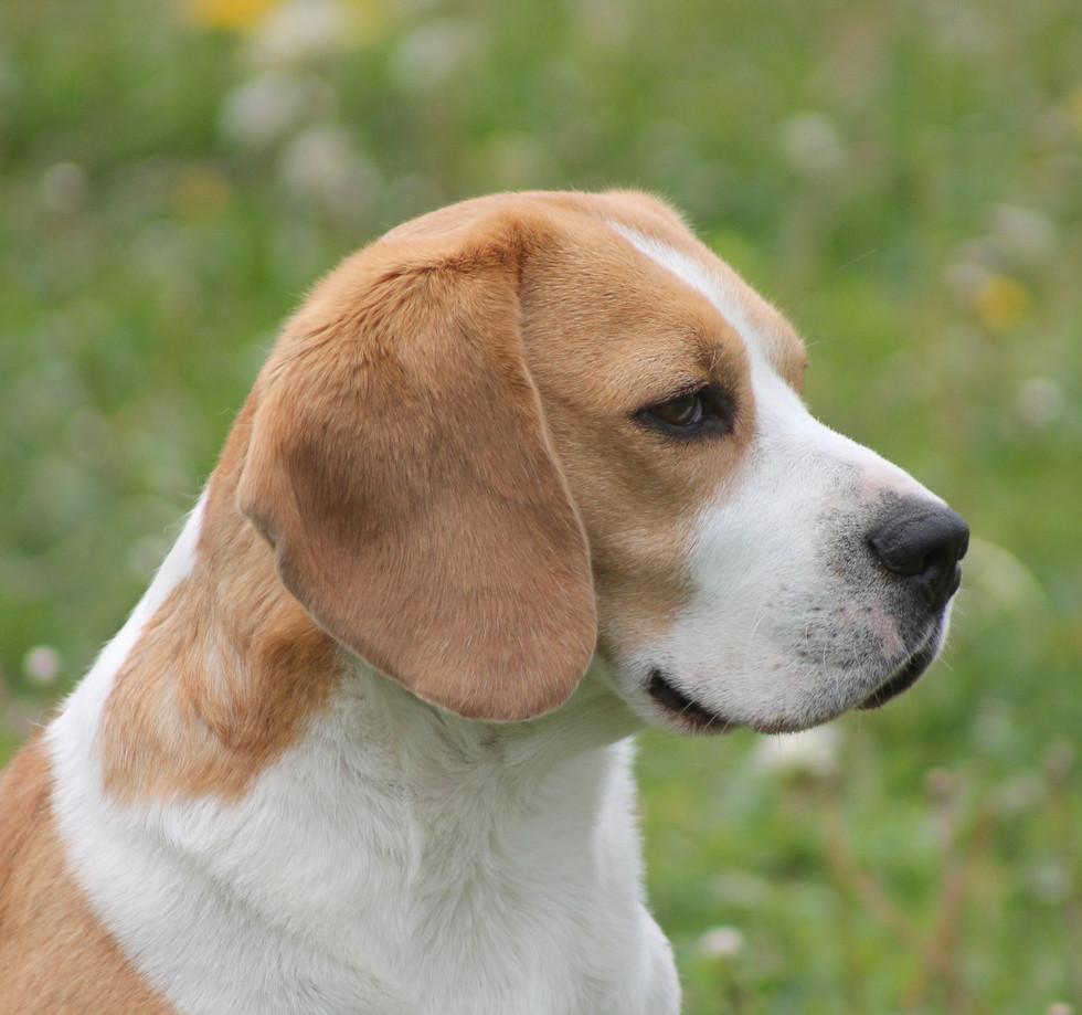 Adult Male Beagle Fox