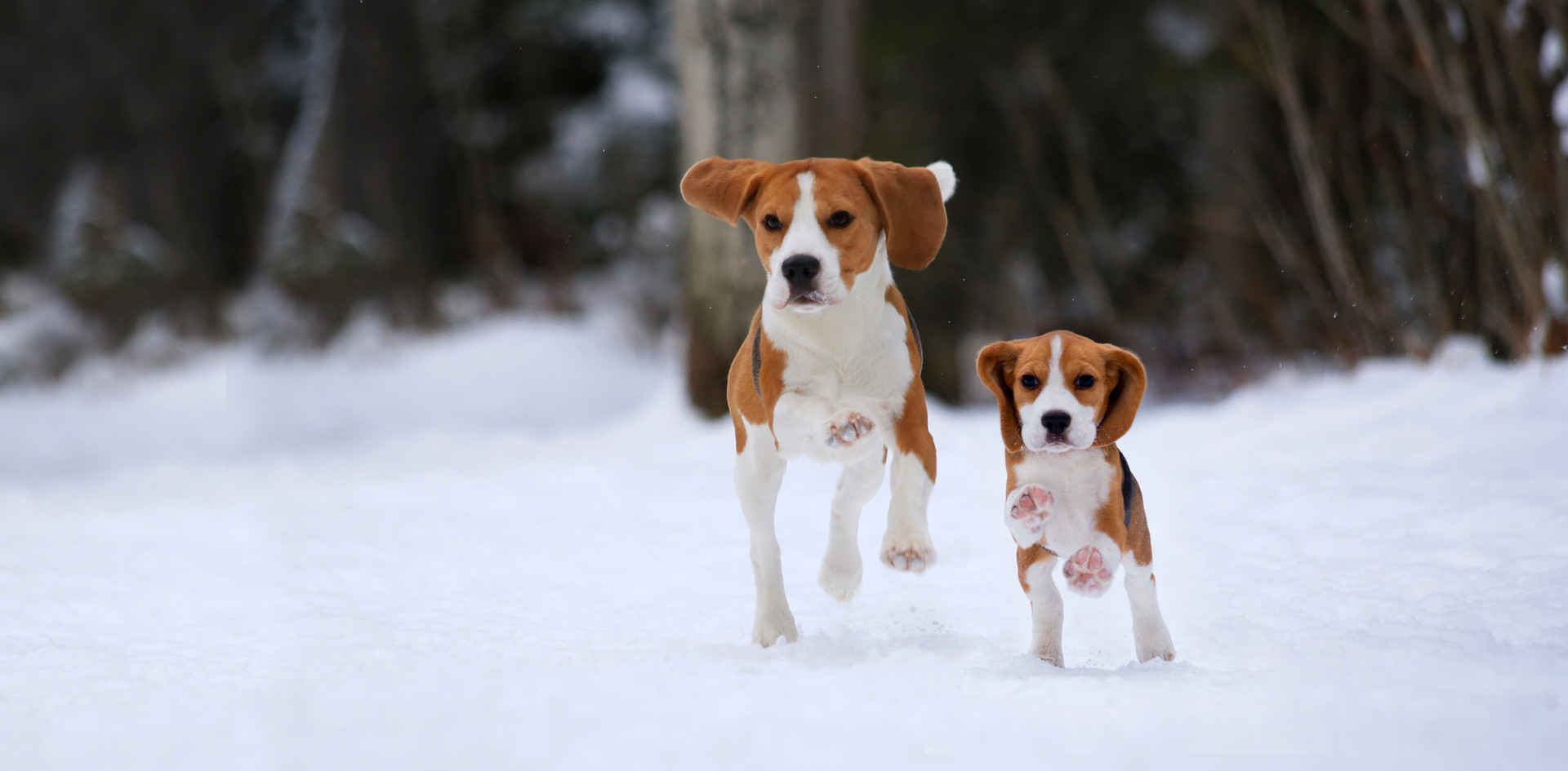 two begles running in snow