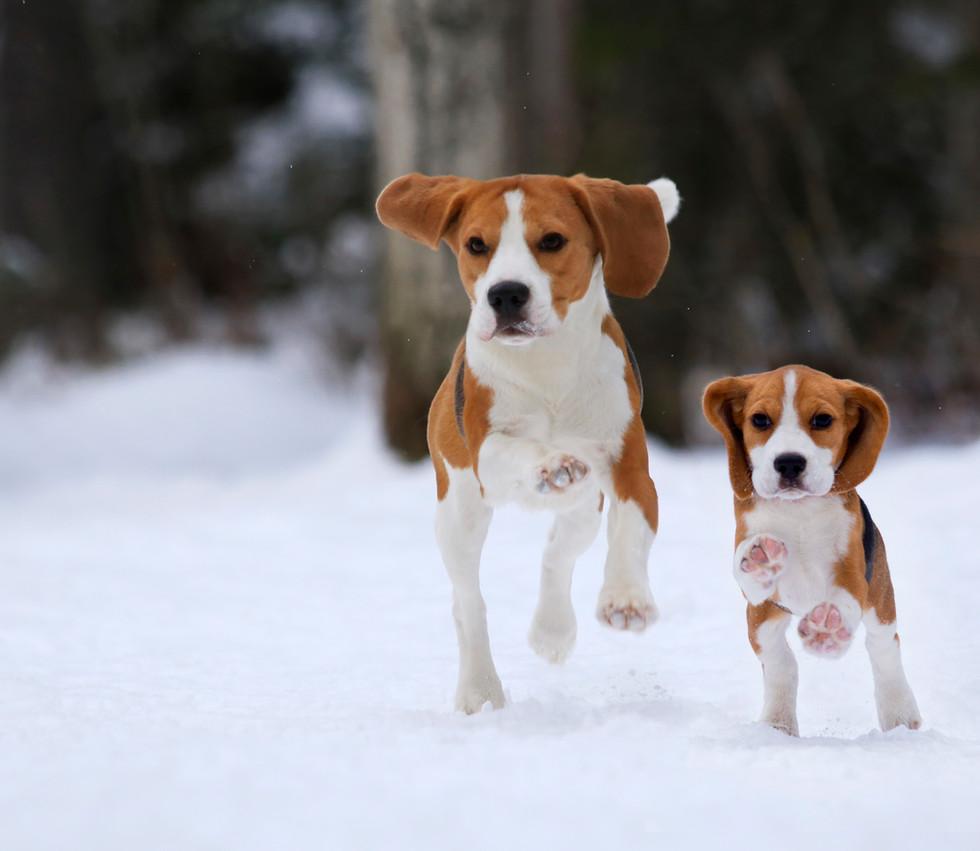 Fox and Clover running