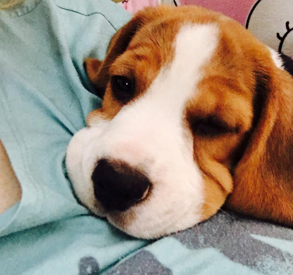 fox the beagle snuggling
