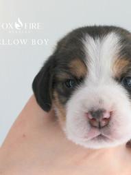 2 Week Old Yellow Boy