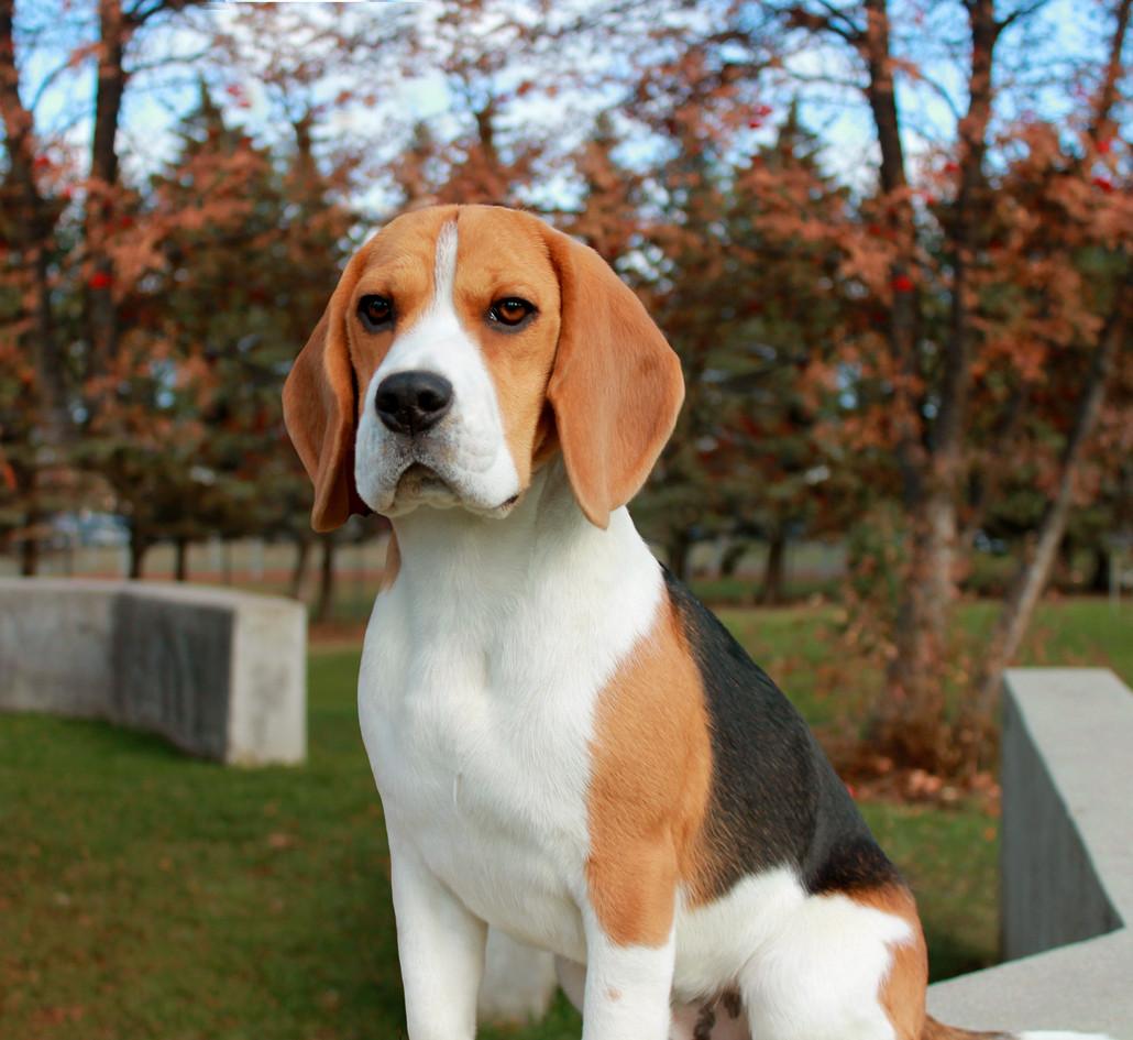Male Beagle Catcher
