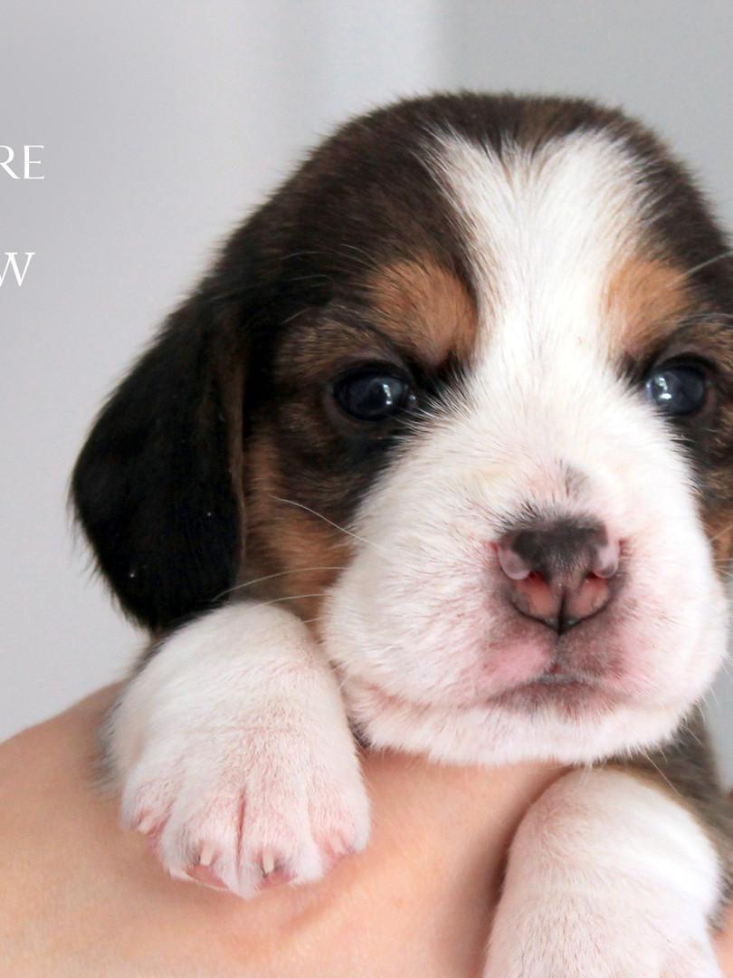 3 Week Old Male Beagle Puppy
