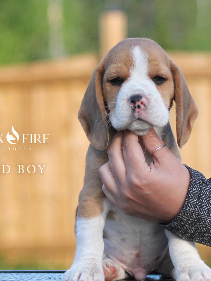7 Week Old Red Boy