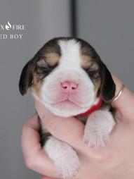 1 Week Old Red Boy