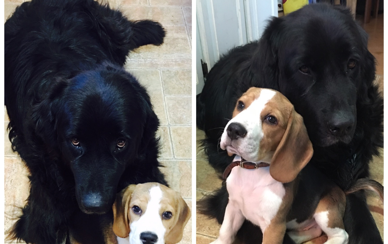Newfy and Beagle Puppy