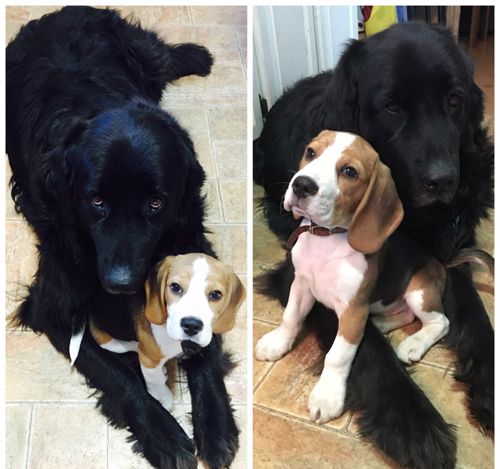 Newfy and Beagle Puppy