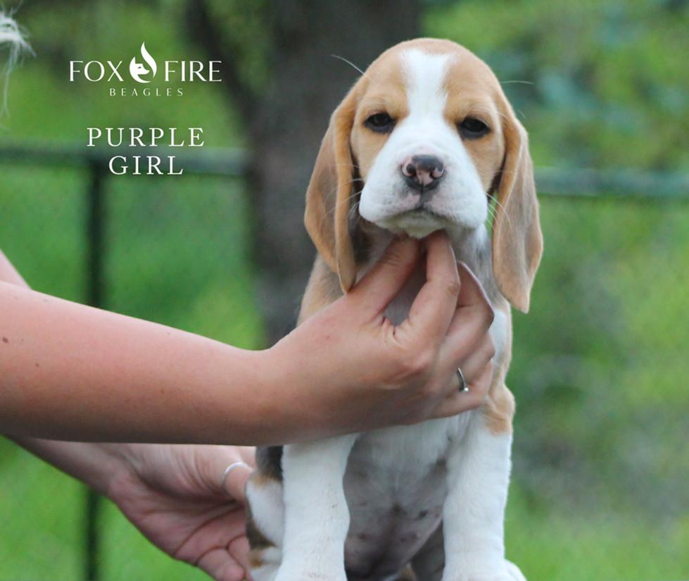 8 week old Female Beagle Puppy