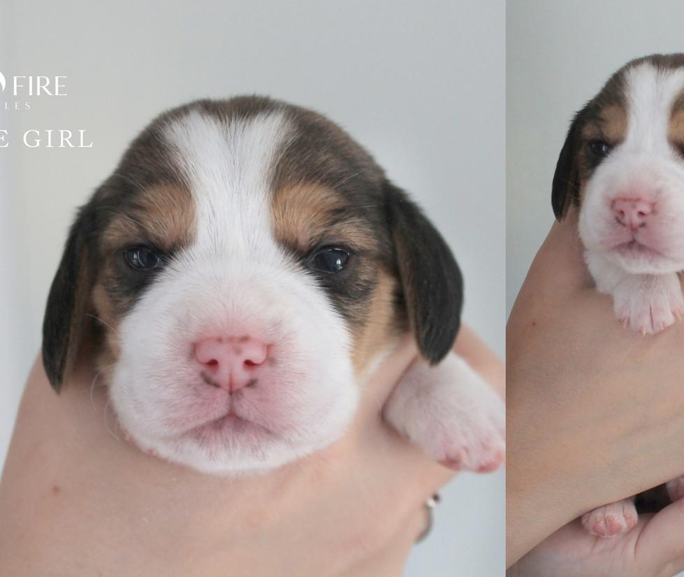 2 week old Female Beagle Puppy