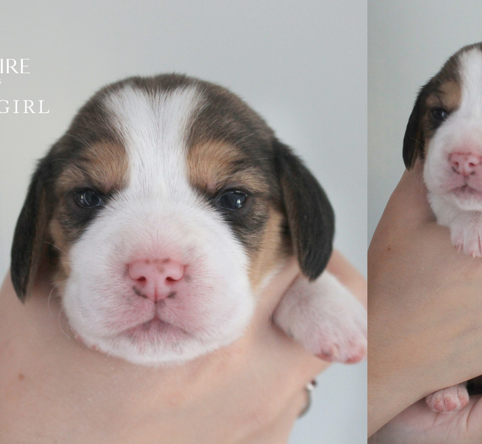 2 week old Female Beagle Puppy