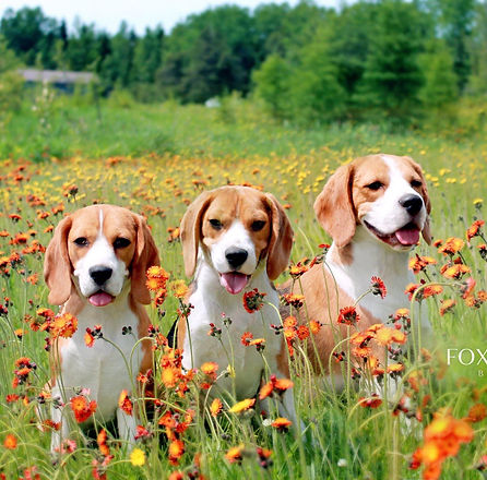 3 Beagles in Nature