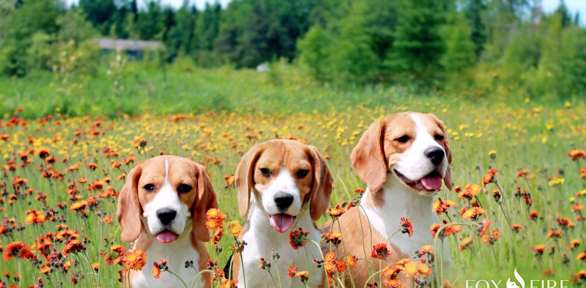 Three Beagles in a field