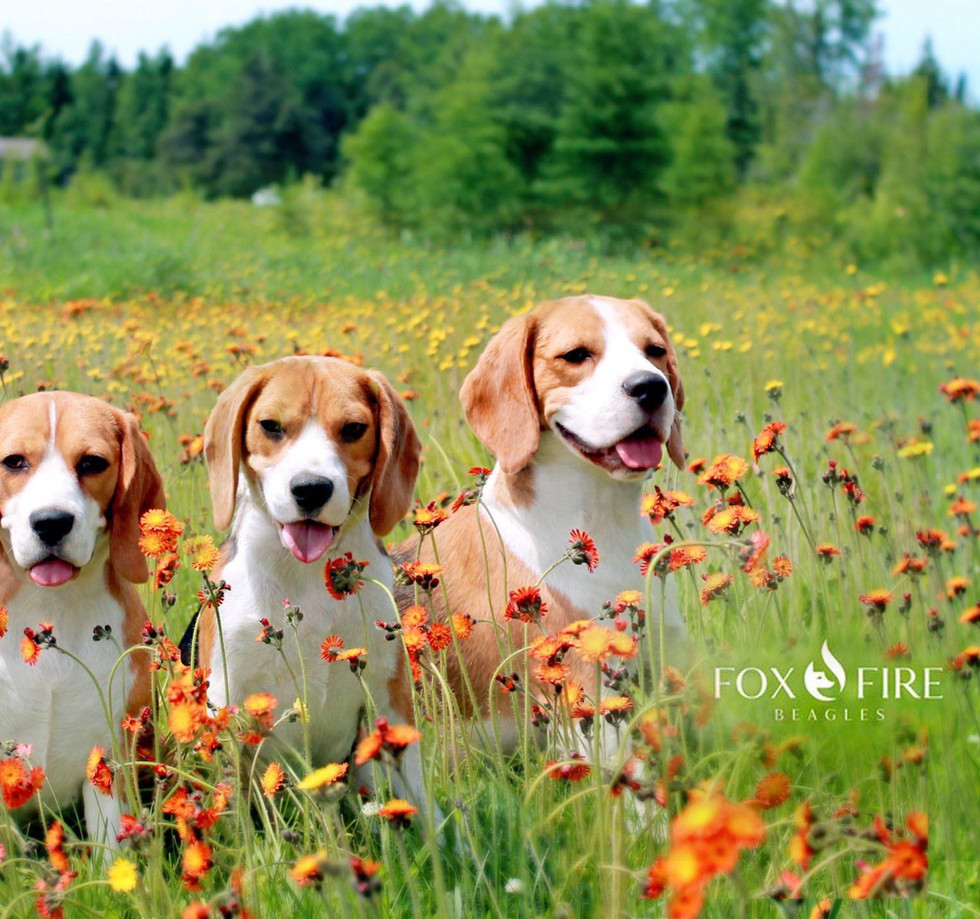 Three Beagles in a field