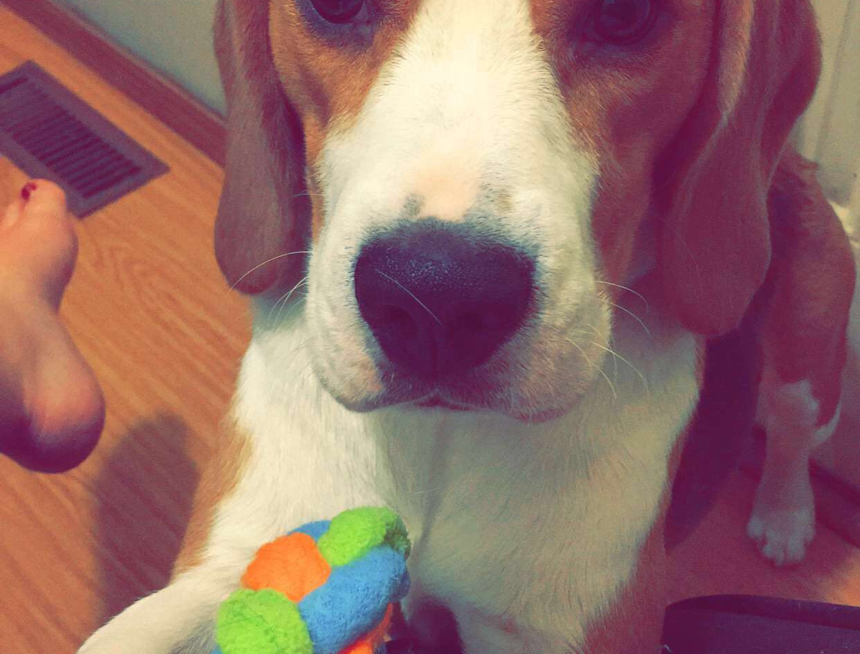 beagle and his toy