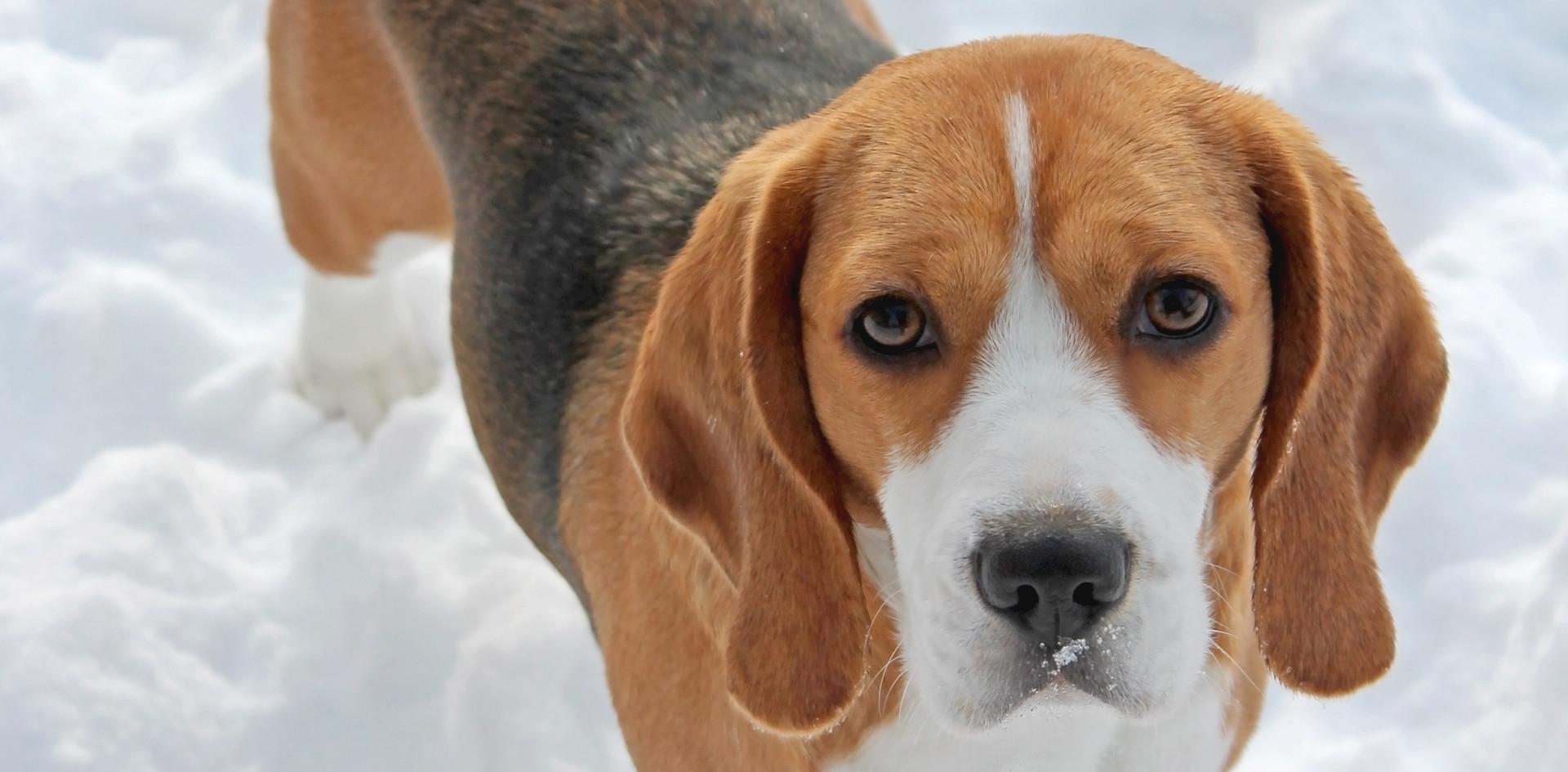 Female Beagle Clover in Snow