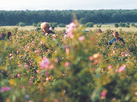many rose pickers.jpg