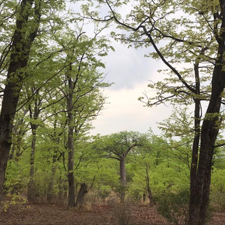 MOPANE FOREST IN MOZAMBIQUE
