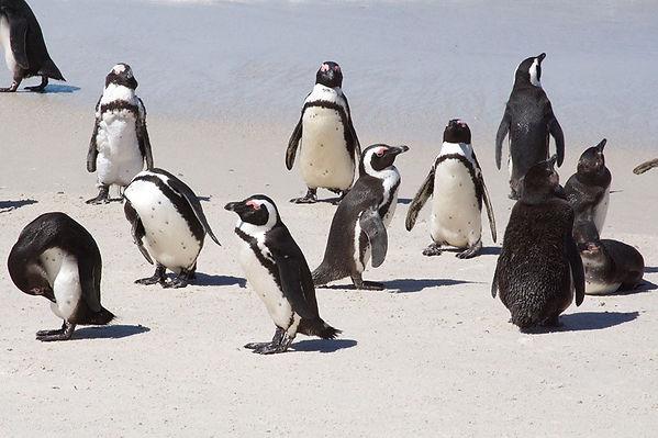 no-organization-here-penguins-African-980.jpg