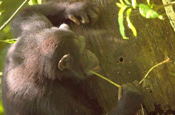 chimpanzee-stick-hole-tree-trunk.JPG