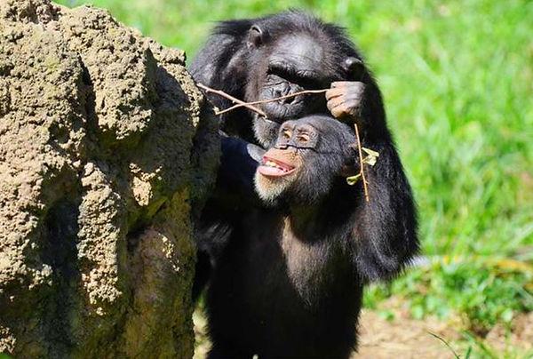 chimpanzees-polking-sticks-holes-in-rock.JPG