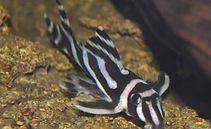 Zebra Pleco.jpg
