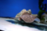 Common Freshwater Stingray.jpg