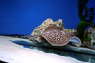 Common Freshwater Stingray.jpg