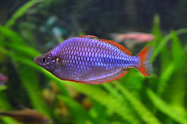 Dwarf Rainbowfish.jpg