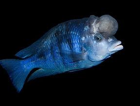 Blue Dolphin Cichlid.jpg