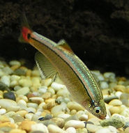 White Cloud Mountain Minnow.jpg