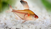 Bleeding Heart Tetra.jpg