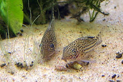 Three-lined Cory.jpg