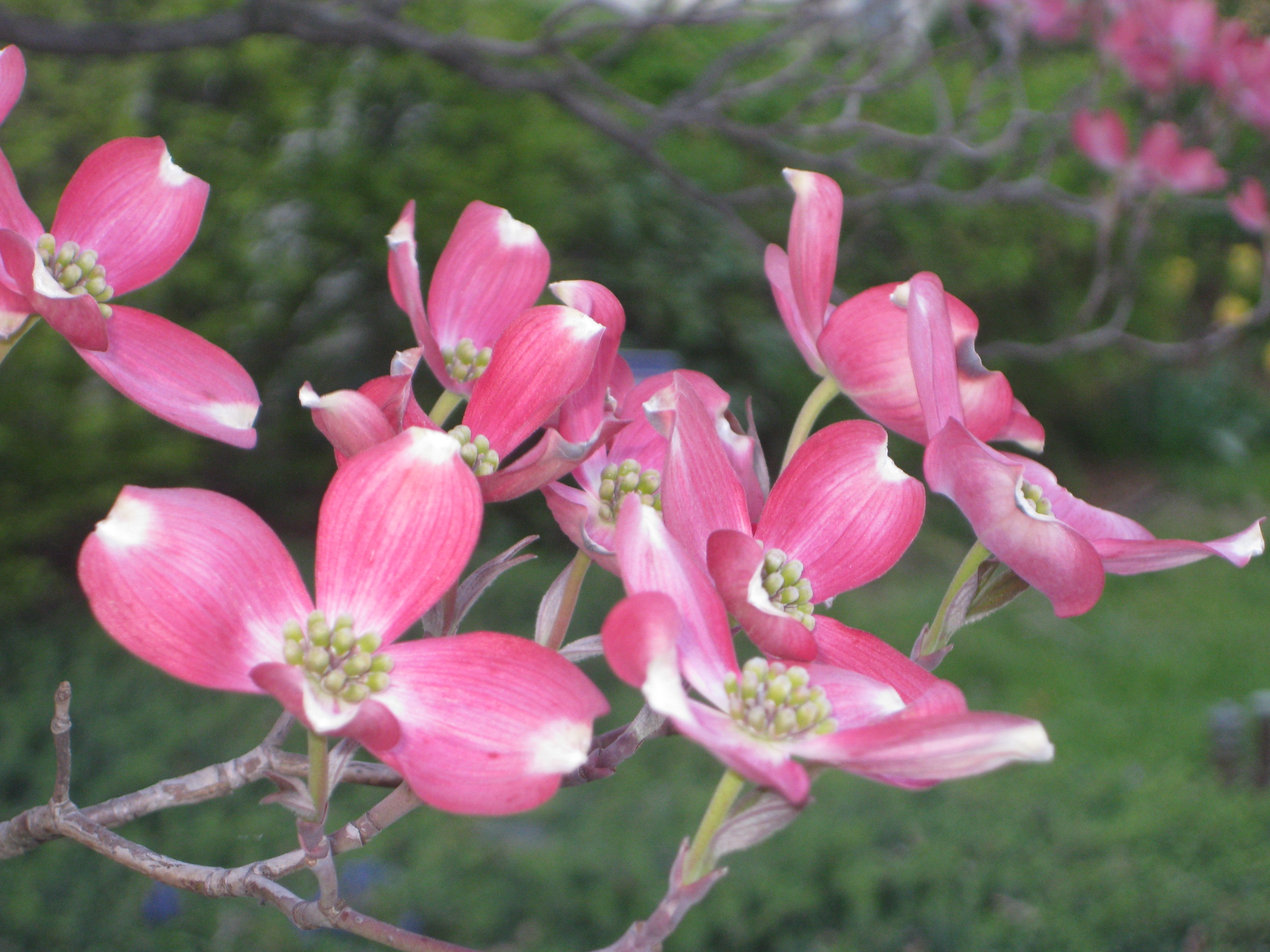 Dogwood, Mt. Washington in Baltimore