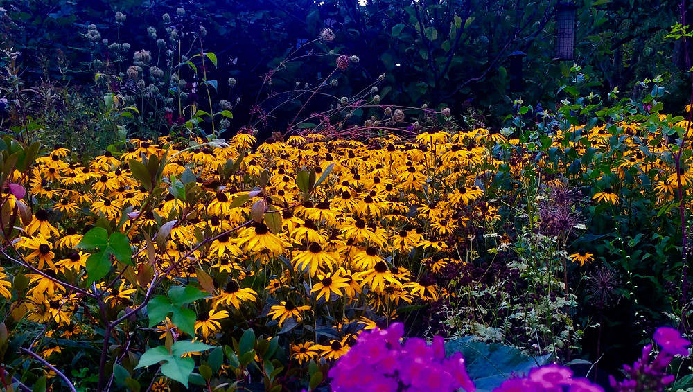 Riot of color - black-eyed Susans!