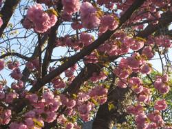 Cherry blossoms, Mt. Washington