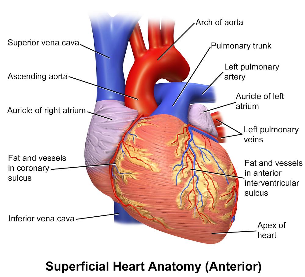 cardiology heart
