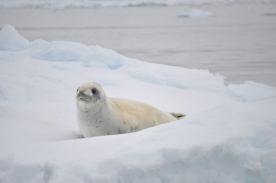 White Seal | Antarctica