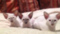 siamese oriental shorthair breeder
