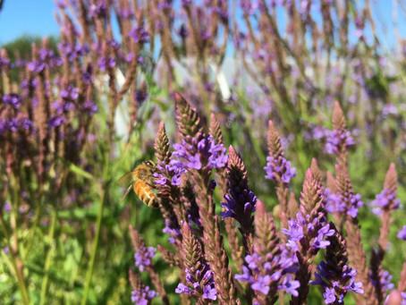 Medicinal Herb Profile: Blue Vervain