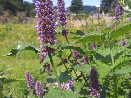 Medicinal Herb Profile: Anise Hyssop