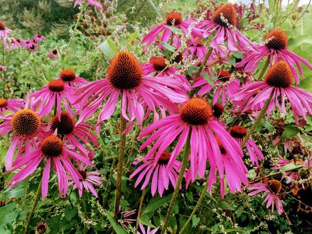 Medicinal Herb Profile: Echinacea