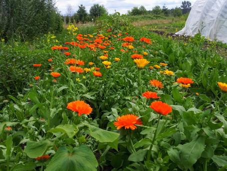 Medicinal Herb Profile: Calendula
